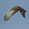 Starting a en action series:<br /> 2 - A Short toed eagle spotting a snake from the air and stars hoovering over it<br /> סדרת צילומי אקשן<br /> 2 - חוויאי מבחין בנחש ומתחיל לרפרף מעליו