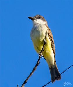 Thick billed Kingbird