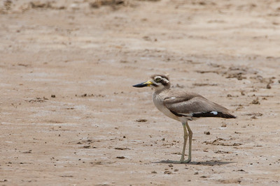 Great Thick-knee - Kutch, Gujrat, India