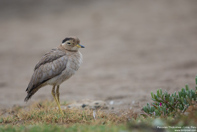 Peruvian Thick-knee - Lima, Peru