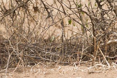 Spotted Thick-knee - Serengeti National Park, Tanzania