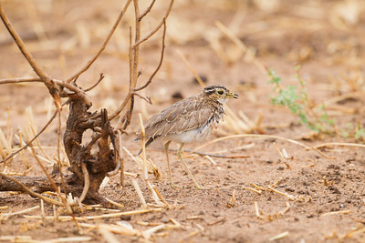 Water Thick-knee - Tarangire National Park, Tanzania