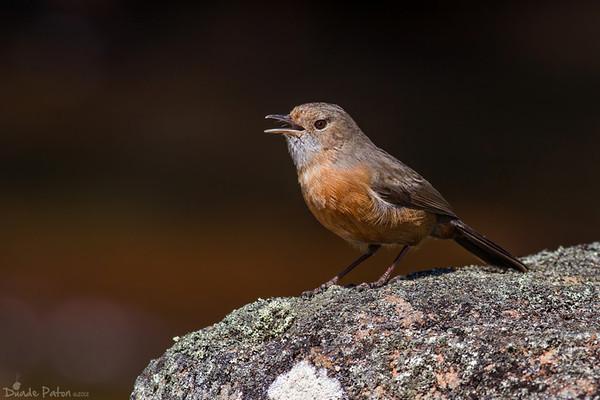 Rockwarbler