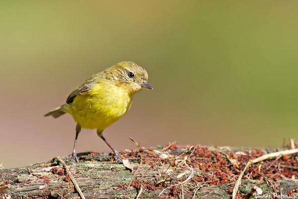 Yellow Thornbill