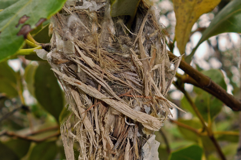 Nest of Mangrove Gerygone ssp cantator  (Gerygone levigaster cantator) nest