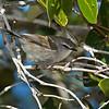 Mangrove Gerygone (Gerygone levigaster)