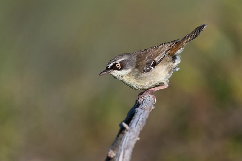 White-browed Scrubwren (Sericornis frontalis)