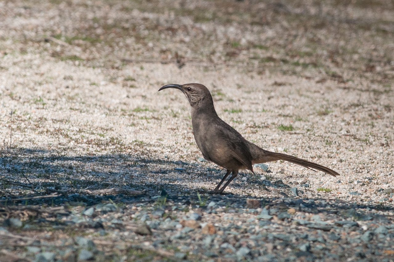 California Thrasher, Jacumba on the Mexico border