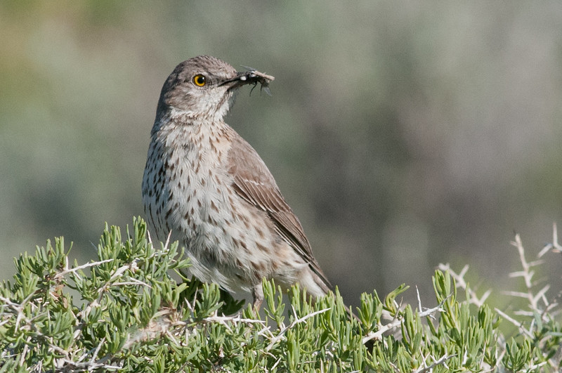 Sage Thrasher, common in the Shrub-Steppe areas of the West. This bird was at the Malheur NWR.