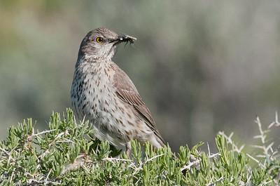 Thrasher, Catbird, Mockingbird