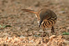 Long Billed Thrasher (b2462)