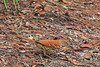 Brown Thrasher (b2443)