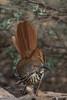 Long Billed Thrasher (b2464)