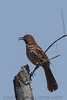 Brown Thrasher (b2442)