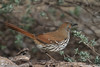 Long Billed Thrasher (b2463)