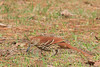 Brown Thrasher (b2441)