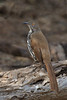 Long Billed Thrasher (b2465)