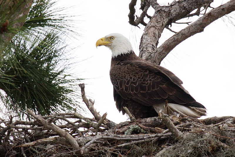 3192 An adult bald eagle sitting on its nest in a lone pine tree. Two young are out of sight in the nest.