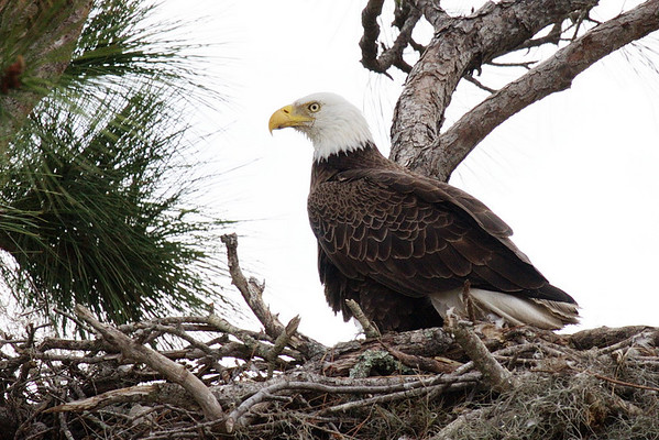 20110305 Three Lakes Eagle Nest