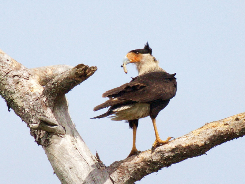 """3374 The crested caracara with the worm flew into a dead tree as we climbed out of the car. The caterpillar appears to be segmented and to have four legs on its hanging end. I have no idea what it is. And the caracara also appears to be able to turn his head around 180 degrees.<br />          For more photos from this day, visit Arnold's website at: <a href=""""http://www.dubinphotography.net/Nature/Eagle-Nest/Eagles-Nest-Prairie-Lake-Rd/16133812_MTp5j#1211315776_AQZWq"""">http://www.dubinphotography.net/Nature/Eagle-Nest/Eagles-Nest-Prairie-Lake-Rd/16133812_MTp5j#1211315776_AQZWq</a>"""