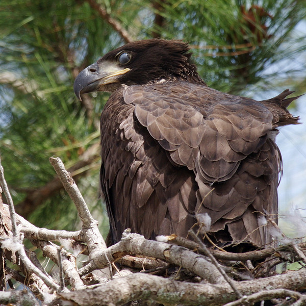 """3340 Here we have the same chick, but with its inner eyelid almost fully extended.  <a href=""""http://Www.baldeagleinfo.com"""">http://Www.baldeagleinfo.com</a> says, """"Eagles have eyelids that close during sleep. For blinking, they also have an inner eyelid called a nictitating membrane. Every three or four seconds, the nictitating membrane slides across the eye from front to back, wiping dirt and dust from the cornea. Because the membrane is translucent, the eagle can see even while it is over the eye."""" There is much more information about bald eagles on this website."""