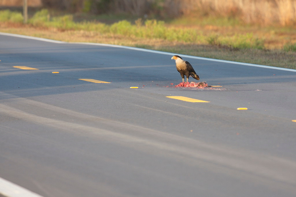 3239 The caracara perhaps decided that we may have wanted its food, so it left the fencepost for the carrion in the middle of the road.