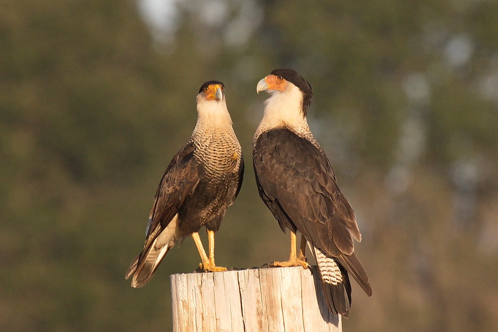 3387 Shortly thereafter, the caracara returned to the fencepost, and was joined by another caracara.