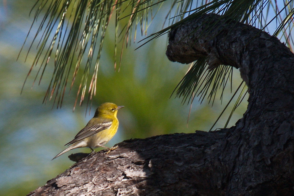 3500 And this little cutey was a pine warbler. I had never seen this bird before, so I added a new checkmark to my lifetime bird viewing list.