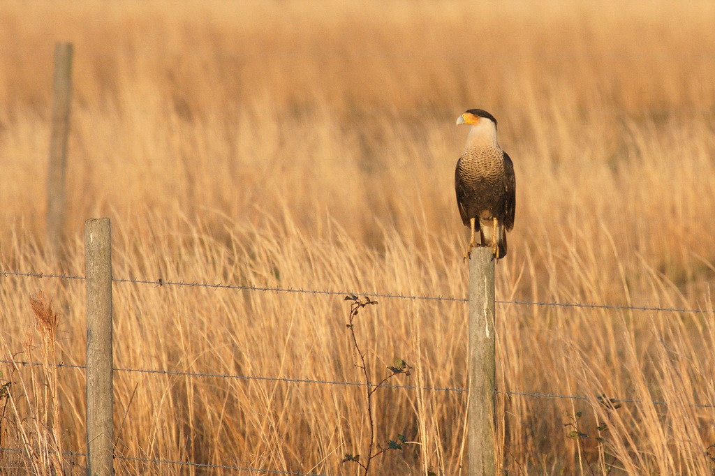 3234 The first caracara we saw as it sat on a fencepost.
