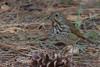 Hermit Thrush (b2482)