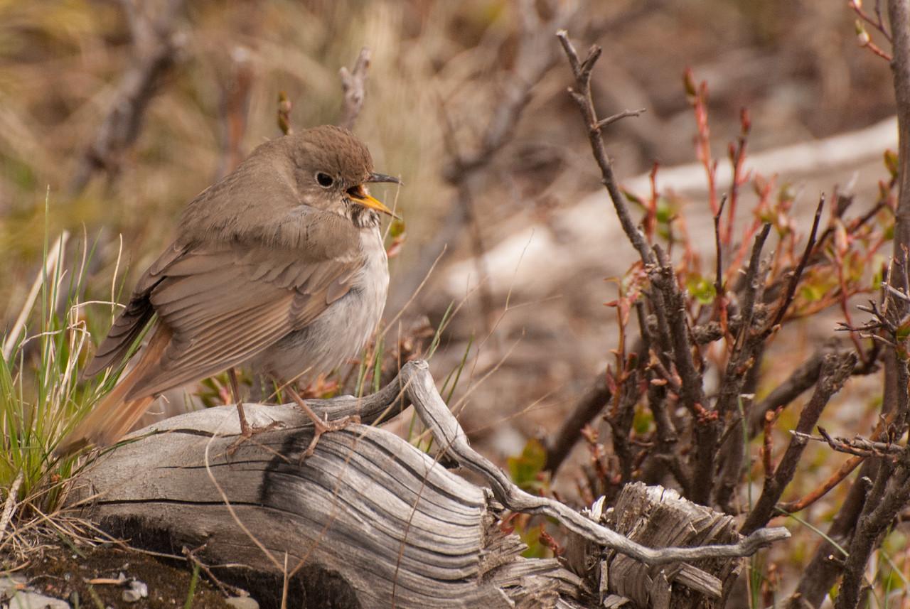 Hermit Thrush - Juvenile
