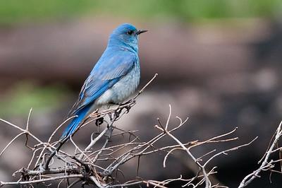 Thrushes Bluebirds Veery