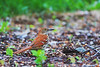 Brown Thrasher<br /> Ithaca, NY