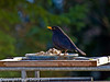 30 January 2011. Male Blackbird at Widley.  Copyright Peter Drury 2011