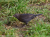 The Blackbirds stay mostly on the grass under the feeding station. They pick up any crumbs dropped by the birds feeding from the bowl.  Copyright Peter Drury 2011
