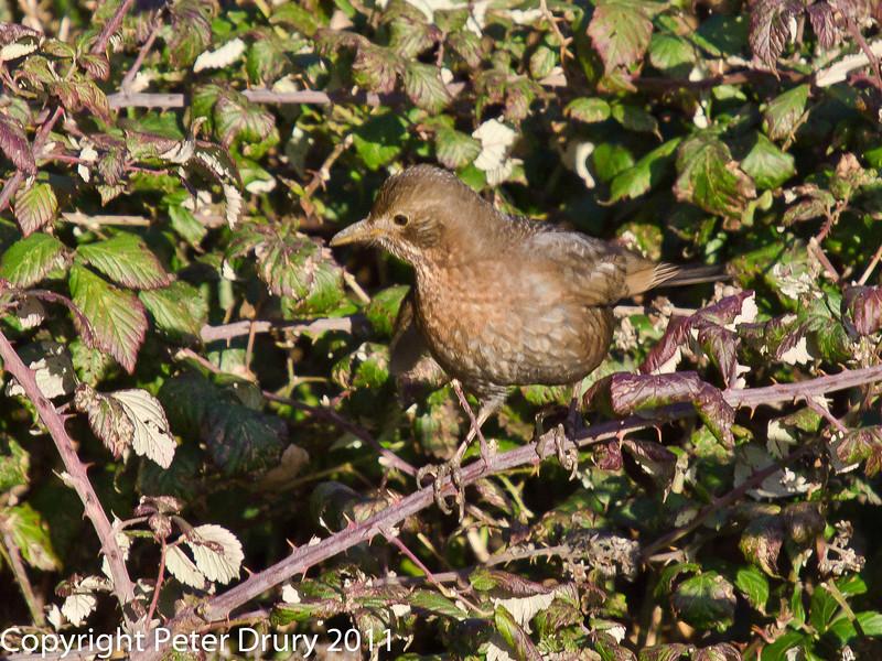 Female Blackbird at Farlington Marshes. Copyright Peter Drury 2011