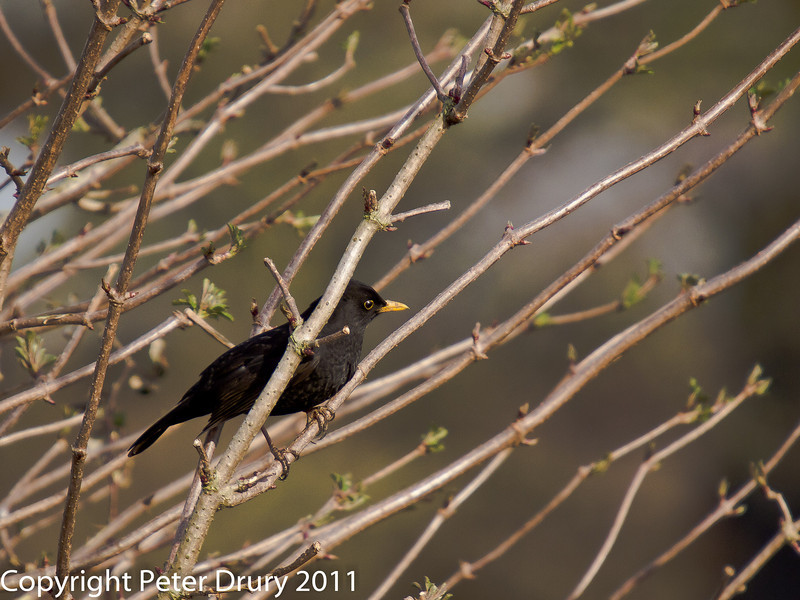 24 February 2011. Blackbird alongside the Hayling Billy trail. Copyright Peter Drury 2011