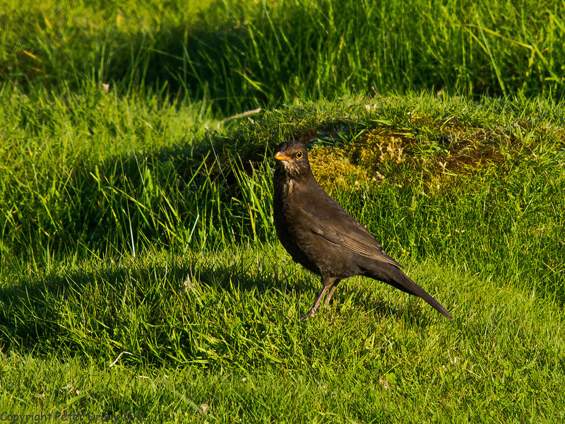 10 May 2011. Female Blackbird on the salt marsh at the Oysterbeds. Copyright Peter Drury 2011