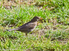 12 February 2011. Female Blackbird seems to have made its home in the bush nest to our feeding station. Copyright Peter Drury 2011