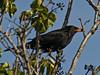 Blackbird (Turdus merula). Copyright 2009 Peter Drury<br /> This bird is feeding on the black berries of ivy.