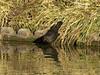 Blackbird (Turdus merula). Copyright Peter Drury 2009