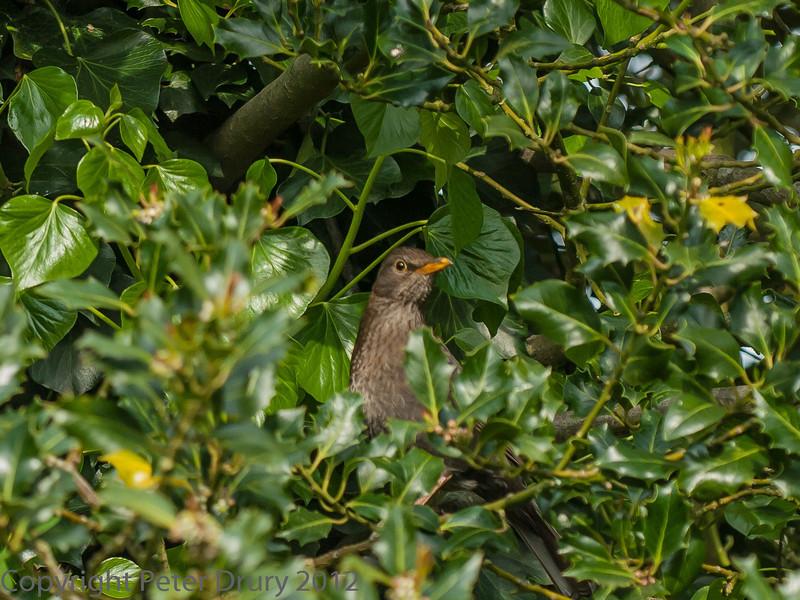 Juvenile Blackbird awaiting feeding,