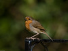 Robin (Erithacus rubecula). Copyright 2009 Peter Drury<br /> Widley, Hampshire