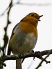Robin (Erithacus rubecula). Copyright Peter Drury 2010