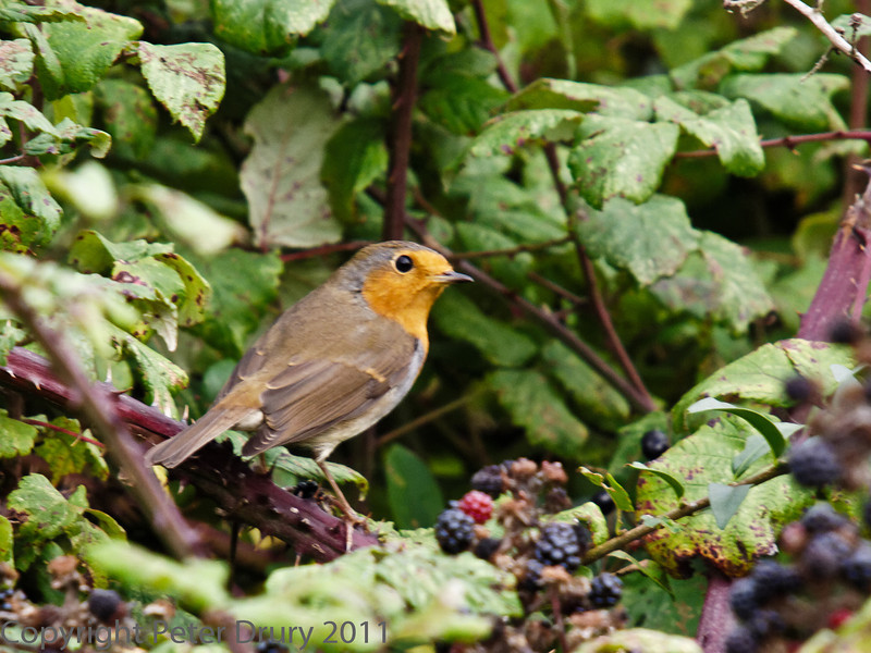 26 September 2011 Robin at North Hayling LNR.