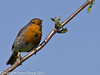 06 April 2011. Robin on the Hayling Billy Trail.  Copyright Peter Drury 2011