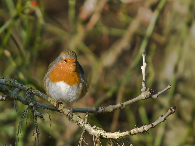 Robin (Erithacus rubecula). Copyright 2009 Peter Drury<br /> Farlington Marshes, Langstone Harbour