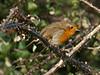 Robin (Erithacus rubecula). Copyright 2009 Peter Drury