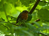 Robin (Erithacus rubecula). Copyright 2009 Peter Drury<br /> Juvenile<br /> Kings Wood, Mevagissey, Cornwall