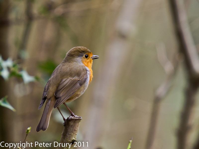 16 March 2011. Robin in the Queens Inclosure.  Copyright Peter Drury 2011